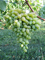 Саженцы винограда памяти смольникова