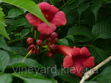 КАМПСИС (Текома) бордовый, лиана для вертикального озеленения. Саженцы и корневища. Холодостойкий сорт.