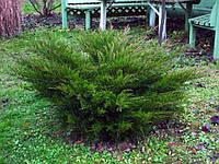 Можжевельник средний  Mint Julep , фото 1