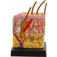 Анатомическая модель Кожа человека Professor EIN-O (E2370SN)