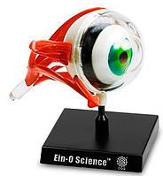Анатомическая модель Глаза Professor EIN-O (E2370EE)
