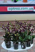 Орхидея фаленопсис мульти сорт Koada Коада 2 цветоноса черная орхидея