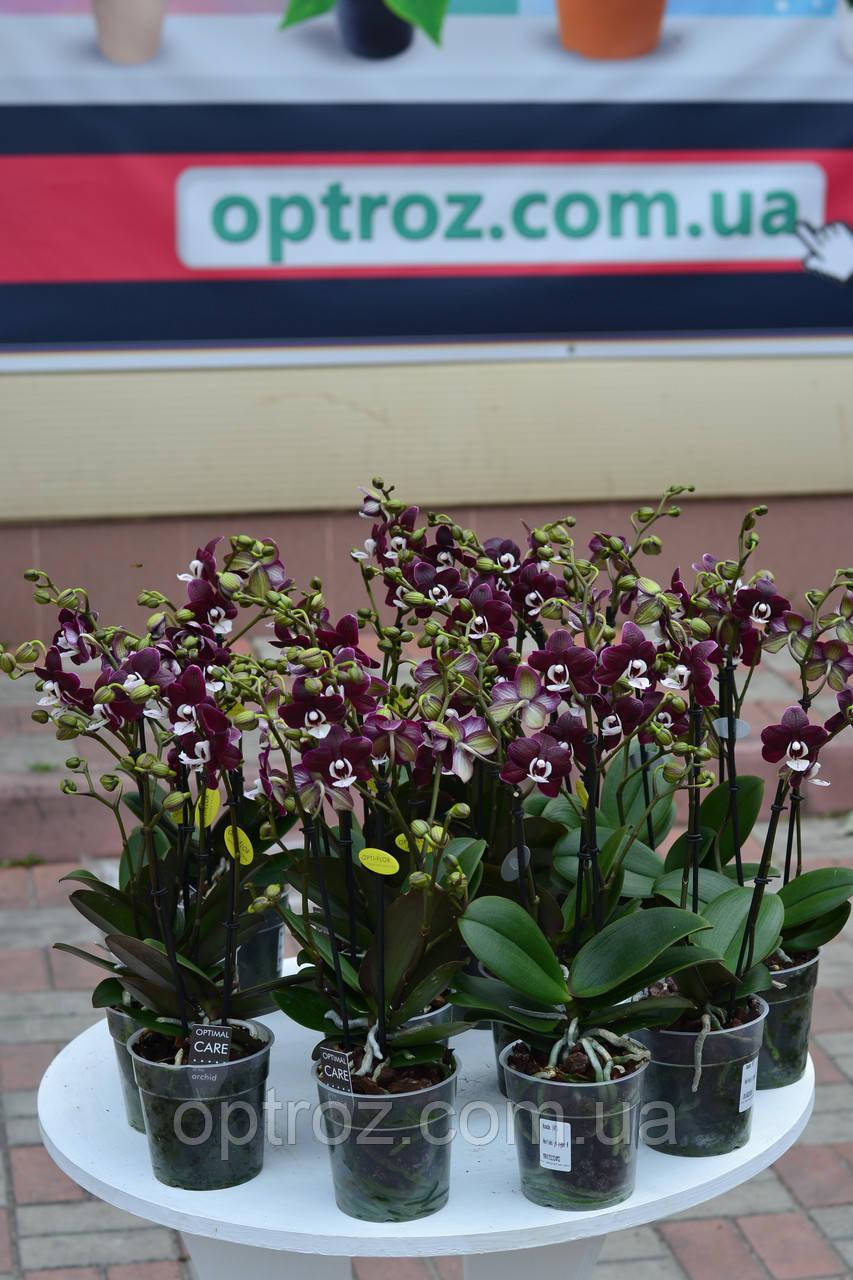 bbf439f46 Орхидея фаленопсис мульти сорт Koada Коада 2 цветоноса черная орхидея -  OPTROZ Оптовая база цветов Одесса