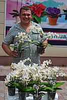 Орхидея фаленопсис 5 цветноосов сорт  Soft Cloud более 100 цветков