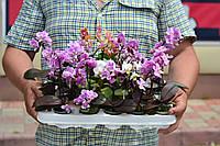 Орхидея фаленопсис мини микс диаметр горшка 6 см, лесная орхидея