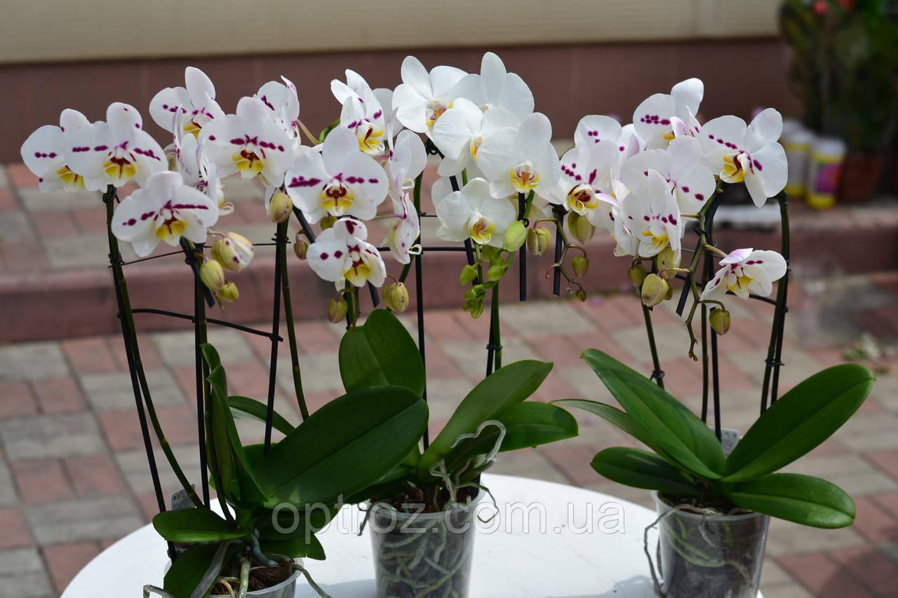 Орхидея фаленопсис каскад микс на 3 цветоноса