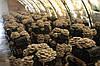 Подготовка помещения к выращиванию грибов