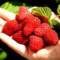 Радзиева малина (Radziejowa Raspberry)