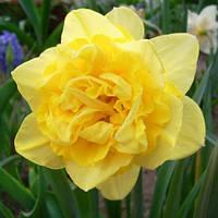 Луковичные растения Нарцисс махровый  Dick Wilden