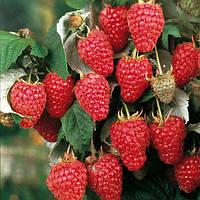 Херитейдж малина (Heritage Raspberry)