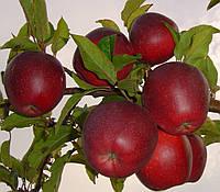"Саженец яблони ""Глостер"""