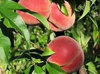 Саженцы персика Амбер Голд