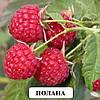 Полана малина (Polana Raspberry)