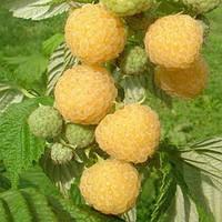 Порана роса малина (Poranna Rosa Raspberry)