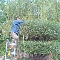 Формирования декоративных  деревьев,ива ,тисовые ,хвойные .