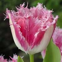 Луковичные растения Тюльпан Huis ten Bosce (бахр)