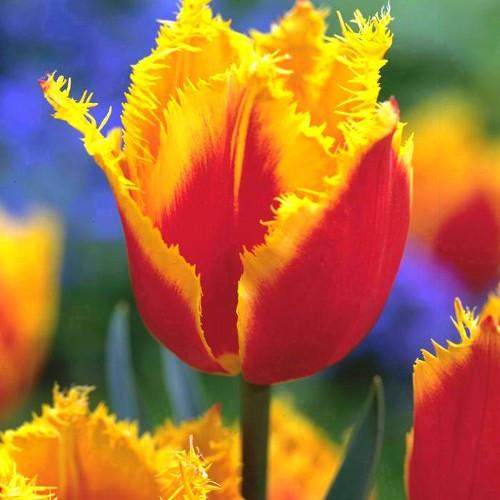 Луковичные растения Тюльпан Palmares (бахр)