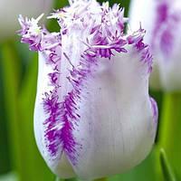 Луковичные растения Тюльпан Aria Cards   (бахр)
