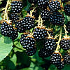Ежевика Лох Тей (Loch Tay Blackberry)