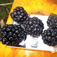 Ежевика Честер (Chester Blackberry)