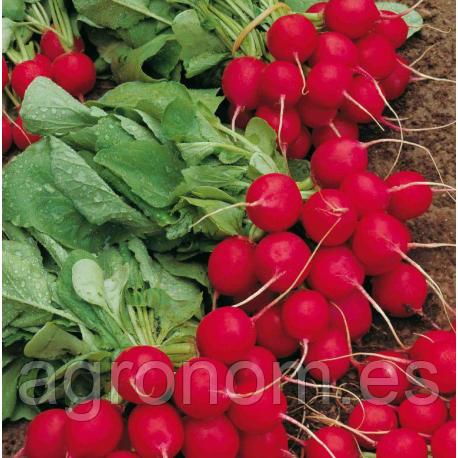 Семена редиса Селеста F1 50000 семян (калибр 2,75-3 мм)  Enza Zaden