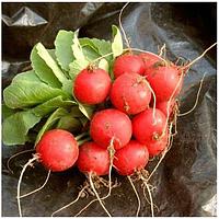 Семена редиса Селеста F1 50000 семян (калибр 3-3,25 мм)  Enza Zaden