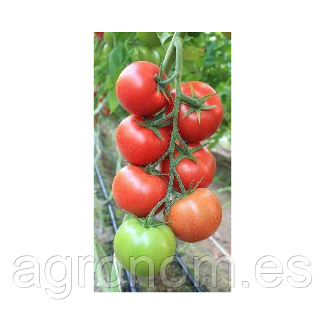 Семена томата Байконур (Е15B.50206 F1) 500 семян Enza Zaden