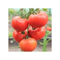 Семена томата Белфорт F1 100 семян Enza Zaden