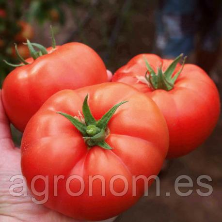 Семена томата Лезафорта F1 500 семян Enza Zaden