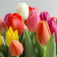 Тюльпаны Триумф, гибриды Дарвина, Простые