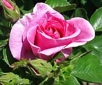 Фото. Парковая роза «Романсе»