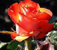 Фото розы «Леонидас»
