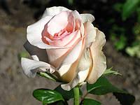 Фото розы «Фламинго»
