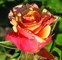 Фото розы «Чери Бренди»