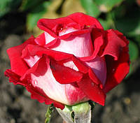 Фото розы «Люксор»