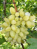 Саженцы винограда Подснежник (очень ранний)