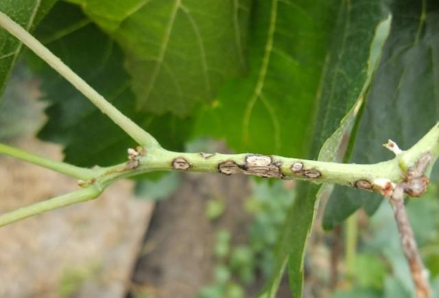Антракноз саженцев малины, болезни малины, антракноз