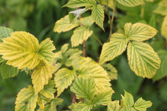 малина желтеет, листья малины желетеет, болезни малины