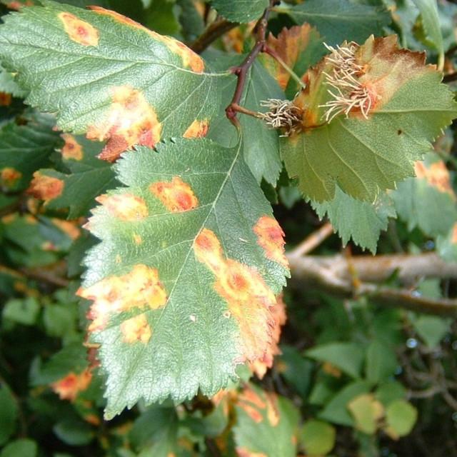 ржавчина на листьях малины
