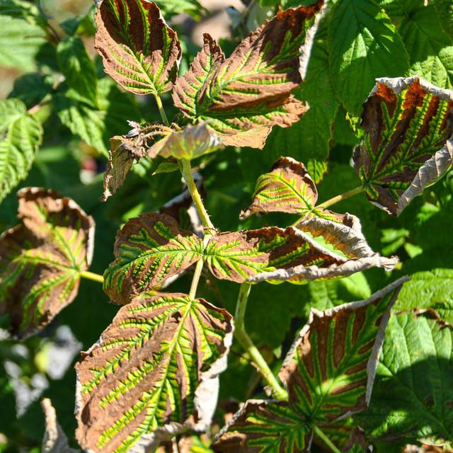 листья малины скручивается, болезни малины