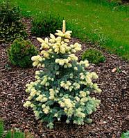 Picea pungens 'Białobok' Ель колючая Белобок