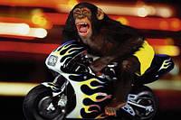 Плакат с приколом Обезьяна на мотоцикле №1451