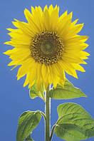 Плакат цветы Подсолнух №2268