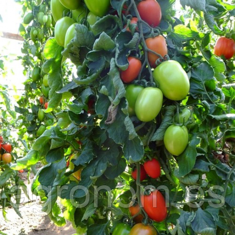 Семена томата Гранадеро F1 500 семян Enza Zaden