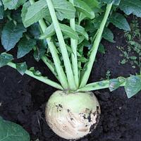 Семена томата Ред Мит 100 грамм Takii Seeds