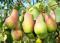 Талгарская красавица — самый стабильный сорт груш