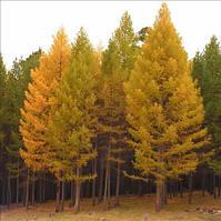 Семена модрини (лиственницы)  европейской