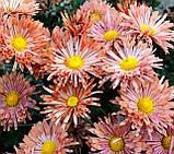 Хризантема РАННЄ ДЕКО, фото 3
