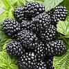Ежевика Лох-Несс  (Loch Ness Blackberry)