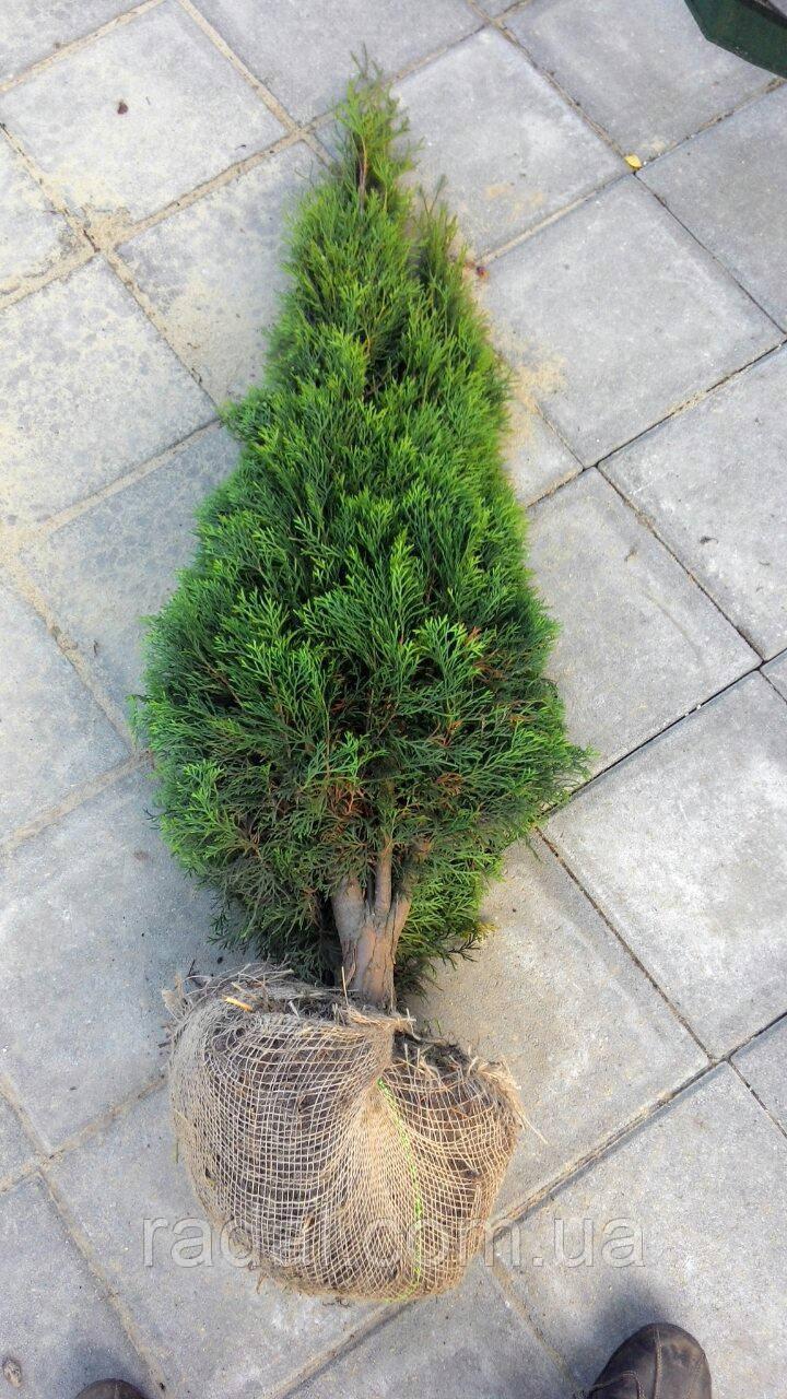 Туя западная Смарагд 150-160см (Thuja occidentalis Smaragd )